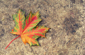 maple leaf by Volodina-Yulia