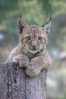 Lynx Day 2 Baby by mama-Lua