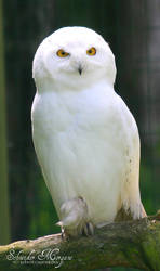 Snowy Owl by MorganeS-Photographe