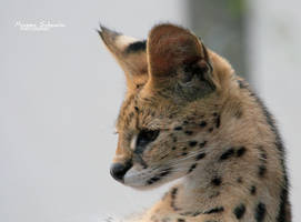 Serval profil by MorganeS-Photographe