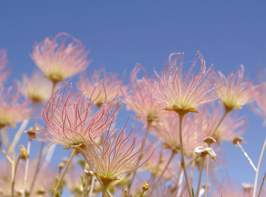 Pink Desert Flowers In Jpg By Soileddude On Deviantart