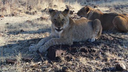 Lions in Zimbabwe. Washe and Widewa. by xJobO-De-HobOx