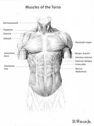 Torso Muscles by DarkKenjie