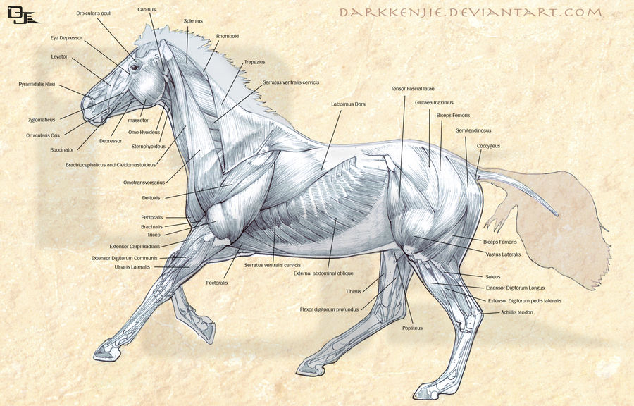 Horse Muscles Anatomy by DarkKenjie