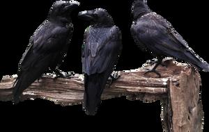 Crows by halconrojo2006