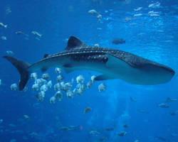 Whale Shark by kfrosty008