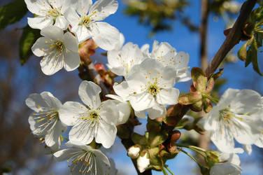 white flowers by maartex