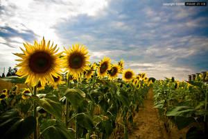 sunflowers by madeinx3