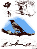 Hooded Crow Sketches by JaniceDuke