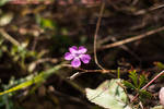 Dianthus by tonixart
