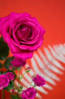 Roses by tonixart