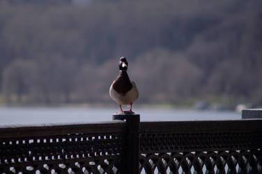 Duck by tonixart