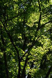 Maple Trees by tonixart