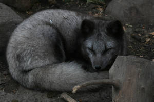 Black Arctic fox by sgt-slaughter