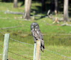 Great Grey Owl perched by sgt-slaughter