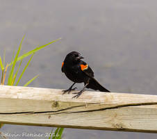 Red Winged Black Bird by sgt-slaughter