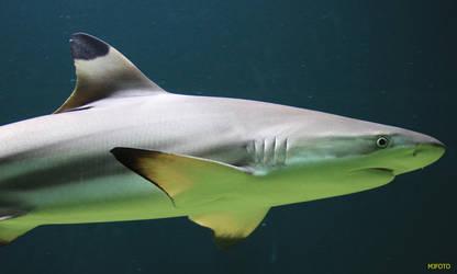 Shark by MJFOTO