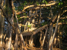 Banyan Trees by Zorraire