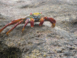 Sally Lightfoot Crab by Zorraire