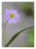 Daisy Purple by lynsea