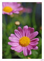 Pink by lynsea