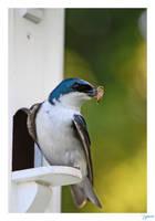Blue Swallow by lynsea