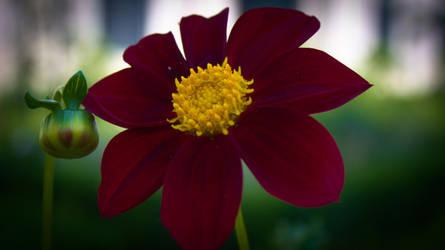 Red Cosmos Flower by VSeliott