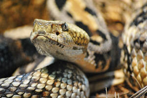 The Rattler by Plasse-Photography