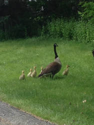 Canada Geese and Goslings by Imready2018