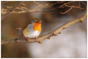 Birds 64 - Robin by RomRom53