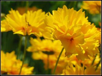 Golden Summer Blossoms by bdusen