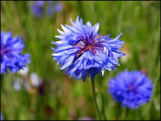 Blue Blooms by bdusen