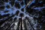 Pines by bdusen