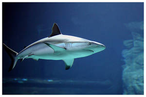 Shark by huy-nguyen
