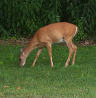 Grazing Deer Stock by DistortedDoll-Stock