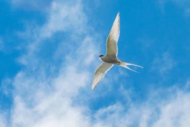 Arctic tern-13 by Dashka-bird