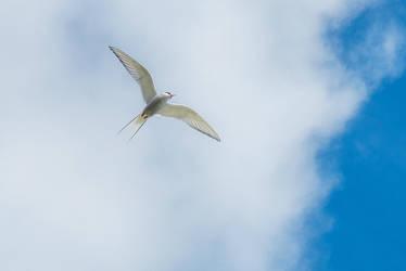 Arctic tern-14 by Dashka-bird
