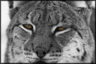 Lynx by Arwen91