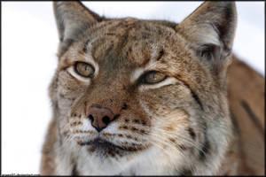 Lynx II by Arwen91