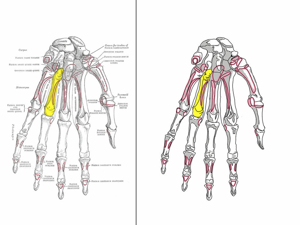 Anatomy The Hand Bones By Jags4 On Deviantart