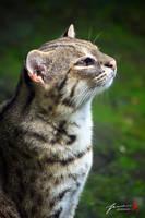 Wild Cat by FrankGo