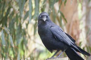 Australian Raven II by FallowpenStock