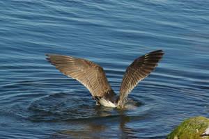 Gull 5 by FallowpenStock
