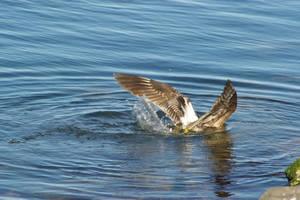 Gull 6 by FallowpenStock