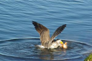 Gull 7 by FallowpenStock