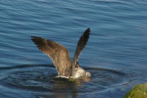 Gull 8 by FallowpenStock