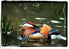 Mandarin Duck by twistedtoy