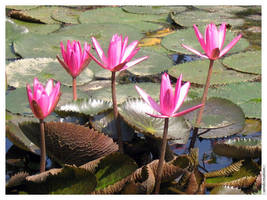 Water Lily by amdcreation