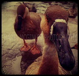 Ducks by EvilxElf