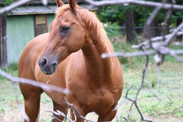 chestnut QH by thegeforce
